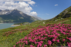 Moncenisio (Gianpaolo Bottin) Tags: landscape mountain alps france rhonealps montcenis nature flower rododendro