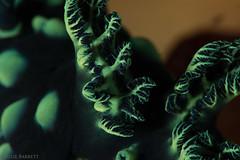 Supermacro of Crested Nembrotha's gills (jcl8888) Tags: komodo indonesia asia mermaidiiliveaboard underwater ocean sea nikond7200 105mmvr nauticamsupermacroconverter supermacro marine macro marinemacro conservation nudibranch crestednembrotha gills branchialplume broccoli green polkadot scuba diving animal alive dorid gastropoda mollusca notfood shadow