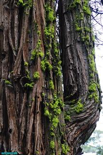 Sequoia120