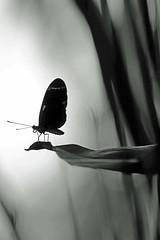 curtain call (bnbalance) Tags: nature art summer blackwhite bw butterfly creative artistic macro