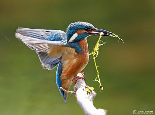 DSP01551 - Kingfisher ♂ (Alcedo atthis)