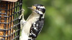 IMG_7186e (blazer8696) Tags: 2017 brookfield ct connecticut ecw obtusehill t2017 table usa unitedstates img7186 picidae piciformes picoides woodpecker