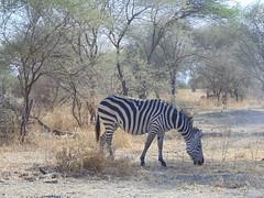 DSC00159 (francy_lioness) Tags: zebra giraffa elefante leonessa bufalo leoni lions tarangirenationalpark parks tanzaniasafari safari africasafari
