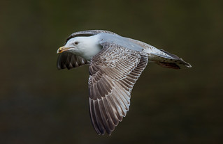 DSC8729  Herring Gull..