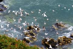 Mourne Coastal Road (ivlys) Tags: irland éire ireland mournecoastalroad bloodybridge landschaft landscape natur nature möwen seagulls vogel bird nordirland northernireland ivlys