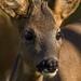 Junger Reh Bock 1/3 (Capreolus capreolus) (Explored) (Silu Junior) Tags: wildlife nature natur tier animal nikon sigma reh