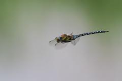 Migrant Hawker.... (klythawk) Tags: migranthawker aeshnamixta insect nature wildlife hovering blue green yellow brown olympus omd em1mkll 300mm 14xtc deltahide attenboroughnaturereserve wildlifetrust beeston nottingham klythawk