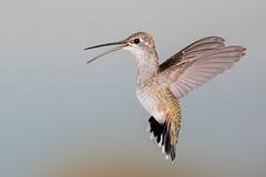 Black-chinned Hummingbird (F) (Eric Gofreed) Tags: arizona blackchinnedhummingbird hummingbird mybackyard sedona villageofoakcreek
