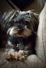 _MG_5537 (Andrea Ellen P.) Tags: dog pet dogphotoshoot petphotoshoot petcandid yorkiemix yorkiepoo yoodle