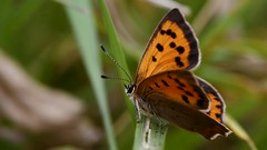 Small copper butterfly (Lycaena phlaeas) (Ian Redding) Tags: smallcopper butterfly lycaenaphlaeas lycaenidae upperside dorsal fromabove above insect invertebrate lepidoptera fauna wildlife nature uk british orange spots animal wings european atrest summer underside perching