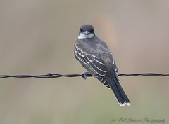 Eastern Kingbird (Ruthie Kansas) Tags: