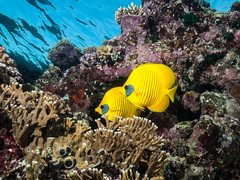 Masked Butterflyfish Pair (altsaint) Tags: 714mm egypt elquseir gf1 panasonic redsea roots butterflyfish coral fish scuba underwater