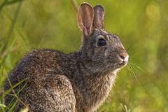 (Daniel000000) Tags: rabbit bunny animal animals light nature green grass summer ears wild park wisconsin midwest schmeeckle reserve