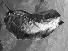 The last of winter (YAZMDG (16,000 images)) Tags: leaf nature winter hiver feuille mono nb bw monochrome