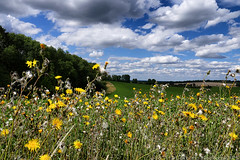 Day #3515 (cazphoto.co.uk) Tags: cambridgeshire clouds dandelions fields sky stetchworth weeds woddditton project365 beyond3288 150817 panasonic lumix dmcgx8 panasonic1235mmf28lumixgxvarioasphpowerois