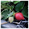 Légumes (nibor de l'espace) Tags: permaculture légume vegetable potager jardin garden nature courgette tomates ail poire fraise capucine mûres