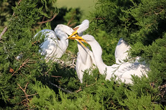 Fighting for food (tresed47) Tags: 2017 201708aug 20170810newjerseybirds august birds canon7d content egret folder greategret newjersey oceancity peterscamera petersphotos places season summer takenby us ngc