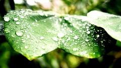 Leaf design and the kiss of sunlight. (SHAN 1973) Tags: leaf waterdrop nikon india dslr rain monsoon