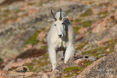 Young Mountain Goat head on