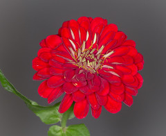 Crimson Zinnia (tresed47) Tags: 2017 201709sep 20170909chestercountymisc canon7d chestercounty content flowers folder home pennsylvania peterscamera petersphotos places season september summer takenby us zinnia