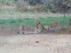 DSC00420 (francy_lioness) Tags: safari jeep animals animali ippopotami leone savana gnu elefante iena pumba tanzaniasafari ngorongorocratere gazzella antilope leonessa lioness facocero