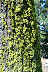 Lichen grows only on the north side of trees (rozoneill) Tags: lassen volcanic national park chaos crags crag lake manzanita wilderness hiking california redding