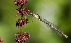 Willow Emerald, female (David Brooker) Tags: willow emerald damselfly female
