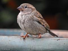 Sore foot (HPVD Photos) Tags: bird injured nikon 140s f65 iso800 fl357mm