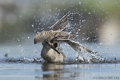 Long-billed Dowitcher (Gregory Lis) Tags: longbilleddowitcher limnodromusscolopaceus burnabylake britishcolumbia duck gorylis gregorylis grzegorzlis nikond810 nikon splash splashing drops
