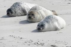 Helgoland-Düne-Robben (BrigitteE1) Tags: helgoland insel nordsee robben heligoland northsea germansea island seals jungtiere youngseals säugetiere mammal raubtiere predators seehund seal commonseal phocavitulina specanimal