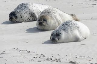 Helgoland-Düne-Robben