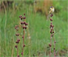 Papa-moscas-do-campo (Conexão Selvagem) Tags: observaçãodeaves serra canastra parque nacional cerrado aves bird wildlife galito rapina gavião