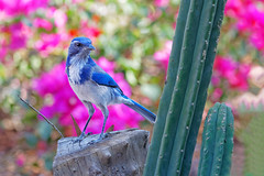 Scrub Jay (Life of David) Tags: aphelocomacalifornica california camarillo canon5dmarkiv usa wildlife backyard beautiful beauty bird nature scrubjay
