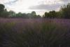 lavender field (KieraJo) Tags: canonef24mmf14liiusm l lens canon 5d mark 3 iii 5d3 fullframe dslr wide angle utah logan cache valley photographer photographers millville lavender apple farm beautiful sky golden hour