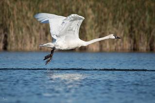 Trumpeter Swan img-2689