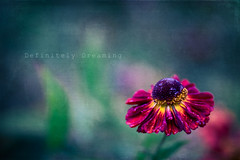 After The Rain (DefinitelyDreaming) Tags: lensbaby velvet85 flower gardenphotography gardenflowers rain 2lilowls texture