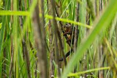 Mitmevärviline orav, Sciurus variegatoides, Variegated squirrel (Blog: Foture.blogspot.com) Tags: mitmevärviline orav sciurus variegatoides variegated squirrel volcano arenal national park costa rica