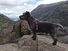 A Dog and His Mountain (GATACA1952) Tags: dog mountain snowdonia summer landscape outdoor terriercross