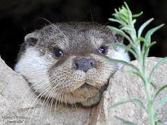 Lontra-comum (Lutra lutra) (Marina CRibeiro) Tags: portugal mirandadodouro lontra otter animal