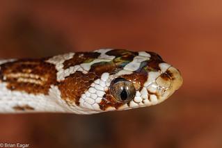 Lyre snake - portrait