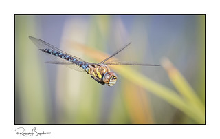 Migrant Hawker dragonfly in flight (Aeshna mixta) [Explored]