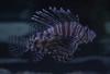 lyon (em_hoo) Tags: fish lionfish