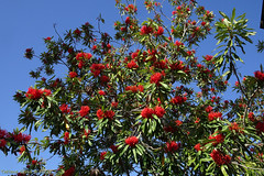 Flowering tree: Queensland waratah (Alloxylon flammeum) (Tatters ✾) Tags: australia brisbane mcbgb mtcoottha coottha redflowers redarfflowers alloxylonflammeum alloxylon treewaratah queenslandwaratah waratah arfp proteaceae mcbgbarfp qrfp tropicalarf arfflowers
