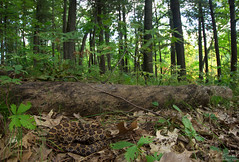 Eastern Massasauga Rattlesnake (Nick Scobel) Tags: eastern massasauga rattlesnake rattler michigan sistrurus catenatus venomous snake pit viper fangs ambush pattern gold texture golden forest scenic trail outdoors nature wilderness wide angle habitat
