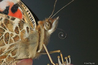 Belle Dame / Vanessa cardui / Painted Lady