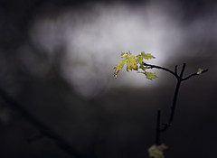 Breath of Autumn (miss.interpretations) Tags: fog mist mistymorning autumn fall yellow leaf rain raindrops oaken shadows light autumnspirit canon6dmarkii 85mm f18 bokeh tiny fragile nature outdoors colorado cold muellerstatepark