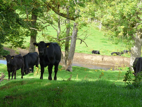 Cows, The Union Canal, Ratho