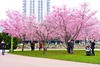Cherry blossom (Shantanu_NL) Tags: pink cherry colors vienna austria blossom