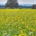 White Mustard Field, Tree & Butterfly