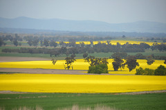 Fields of Gold (PhotosbyDi) Tags: canola country countryside dookie victoria agriculture farming crop nikond600 nikonf355628300mmlens landscape